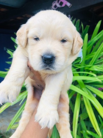 Lindos! Golden Retriever com Pedigree Recibo Garantia  - Foto 4