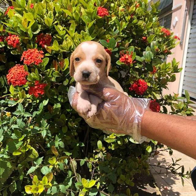 Filhotes de Beagle 13 Polegadas disponível - Foto 2