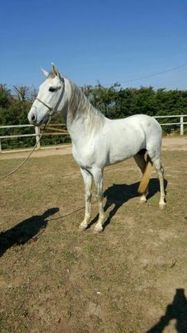 Cavalo Marchador Garanhão sem registro