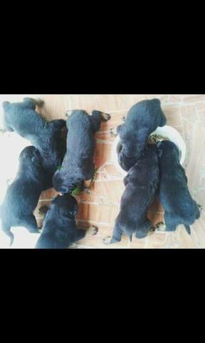 Otimo preço filhotes de Rottweiler