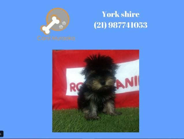 Yorkshire Terrier - york com pedigree