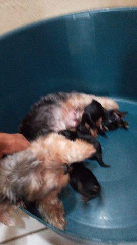 Mini yorkshire terrier - Foto 3