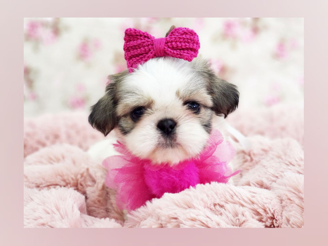 *Shihtzu mini, menininha à pronta entrega aqui no pet shop Namu Royal, foto real*