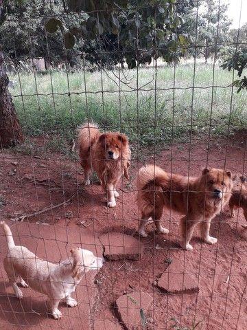 Filhotes de chow chow  500.00 reais - Foto 6