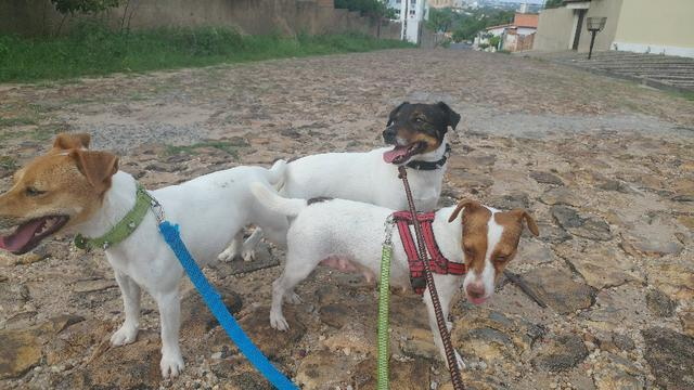 Jack Russel Terrier - JRT - Pedigree, Vacinados e vermifugados