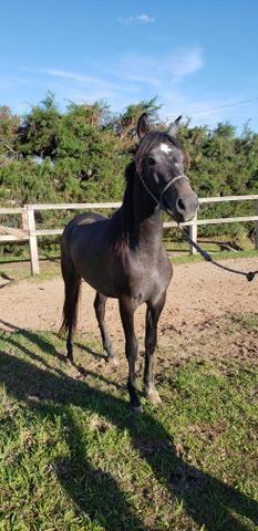 Cavalo filho do Rajy Elfar controlado