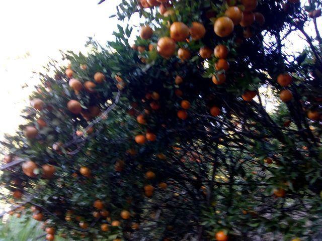 Laranja e bergamota - Foto 2