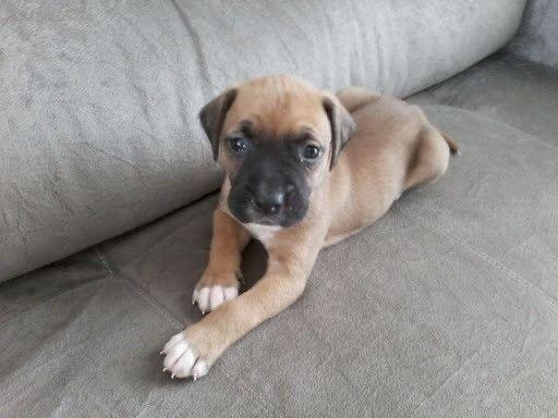 DOAÇÃO///Cachorro Boxer Filhote c/Pedigree - Foto 2