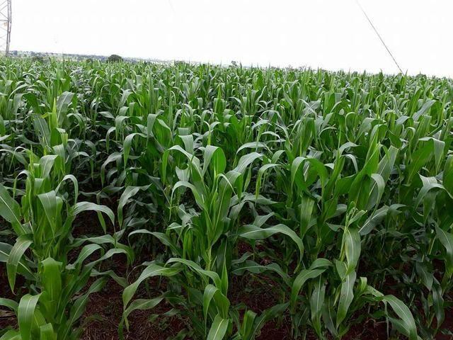 Silagem de milho - Foto 3