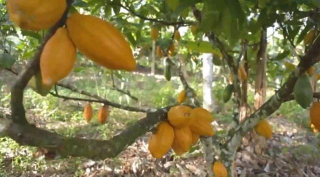 Fazenda de Cacau, Látex e Mogno no Brasil - Cidade Ituberá-BA