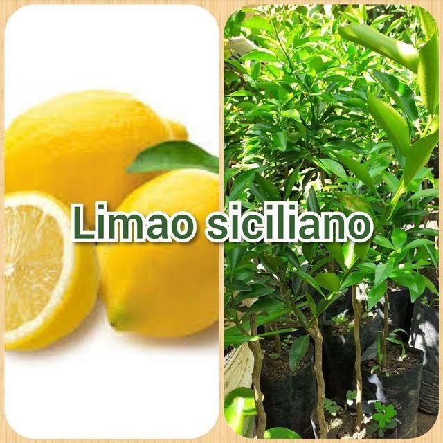 Limao siciliano