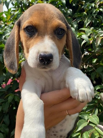 beagle- os filhotes mais lindos!!!