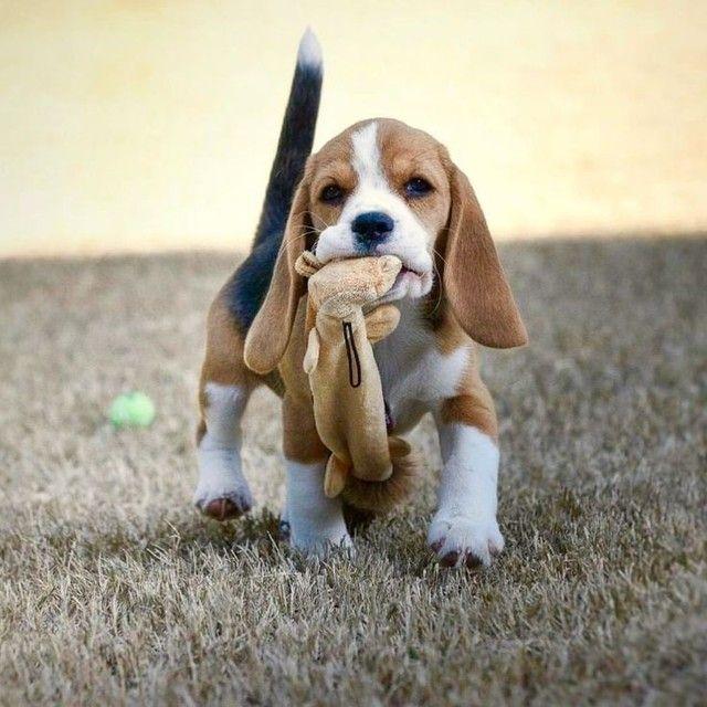 Beagle disponível filhotes  - Foto 2