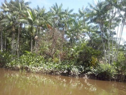 Terreno rural com vasto açaizal frutífero medindo 5.000 de frente por 3.000 de fundo