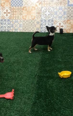 Chihuahua pelo curto - Foto 2
