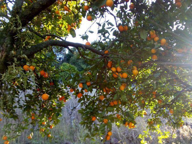 Vendo laranja e bergamota