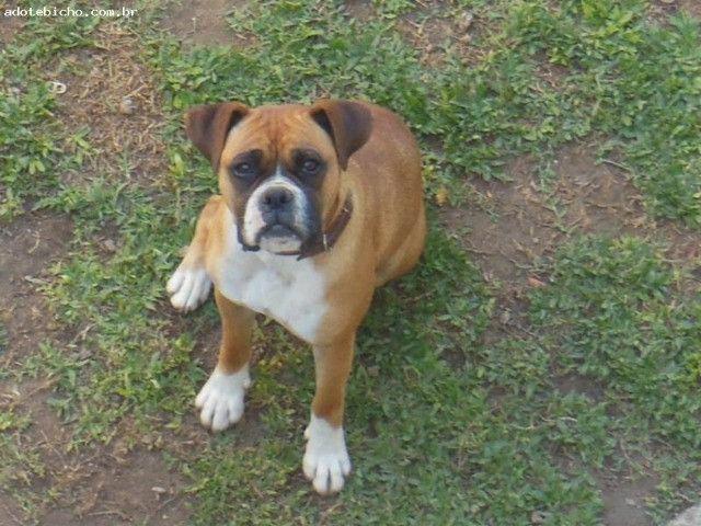 DOAÇÃO///Cachorro Boxer Filhote c/Pedigree - Foto 3