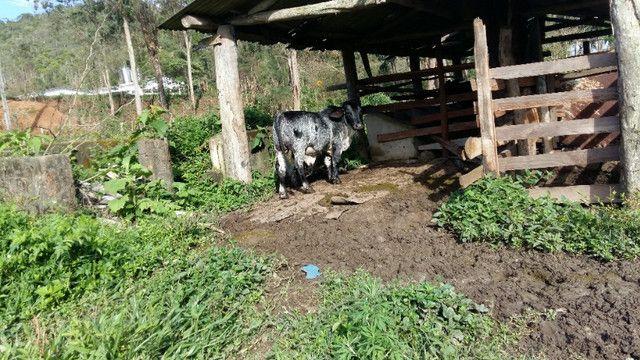 Tourinho mine santa Rosália linhagem leiteira já servindo - Foto 2