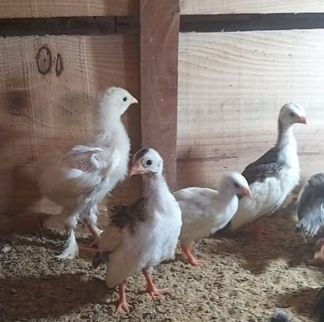 Pintos de galinha da Angola - Foto 2