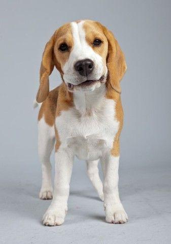 Beagle disponível filhotes  - Foto 4