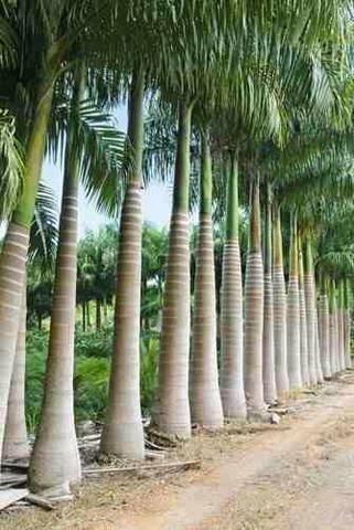 Venda de mudas de palmeiras imperial