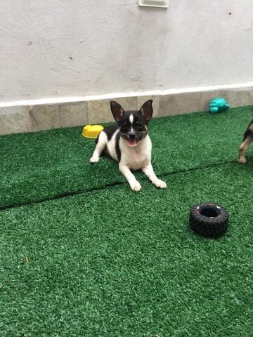 Chihuahua pelo curto - Foto 4