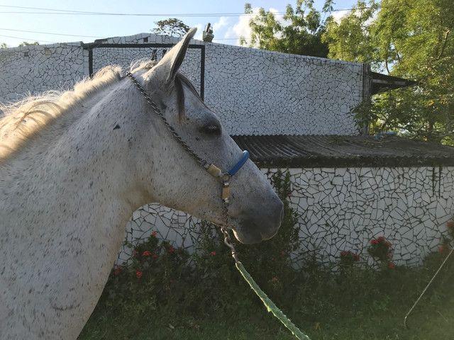 Cavalo tordilho show de marcha picada - Foto 3