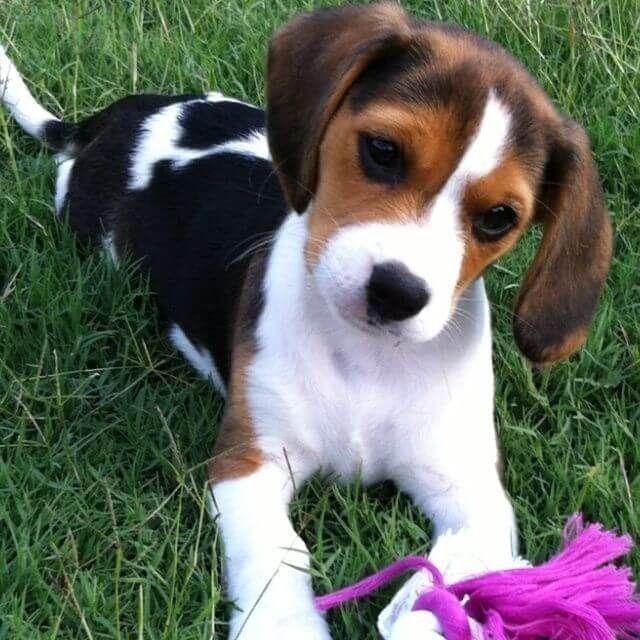 Beagle disponível filhotes  - Foto 3