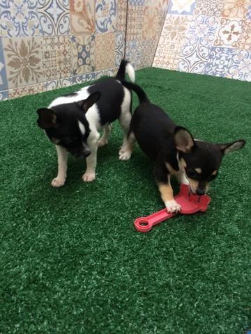 Chihuahua pelo curto - Foto 5