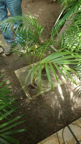 Palmeiras areca bambú - Foto 2