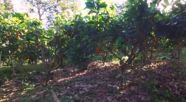 Fazenda de Cacau, Látex e Mogno no Brasil - Cidade Ituberá-BA - Foto 19