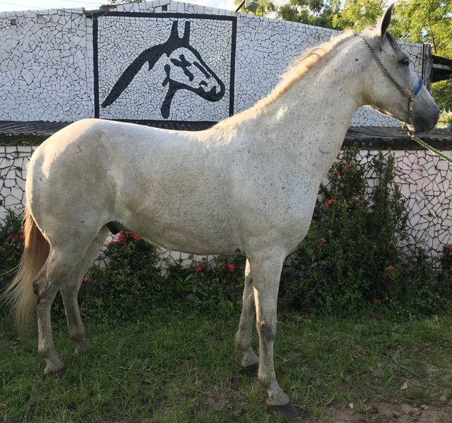 Cavalo tordilho show de marcha picada - Foto 2