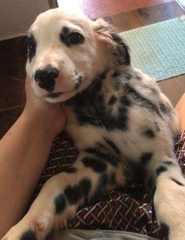 Cachorro macho dálmata - Foto 3