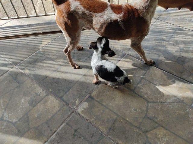 Lindos cachorros cruza de pinscher com chiuaua - Foto 6