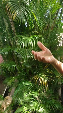 Palmeiras areca bambú
