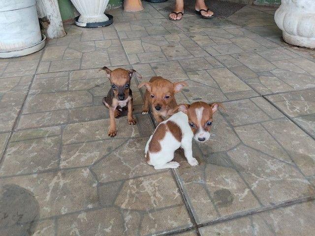 Lindos cachorros cruza de pinscher com chiuaua - Foto 5