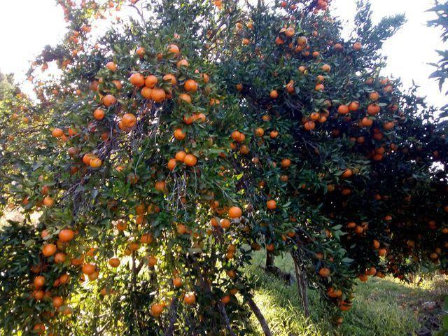 Laranja e bergamota - Foto 3