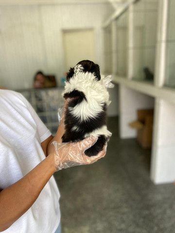 Lhasa Apso macho e fêmea lindos a pronta entrega com pedigree - Foto 3