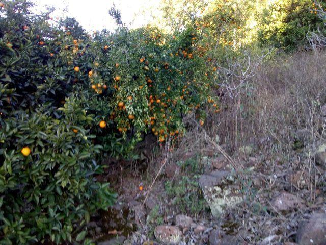 Laranja e bergamota - Foto 4