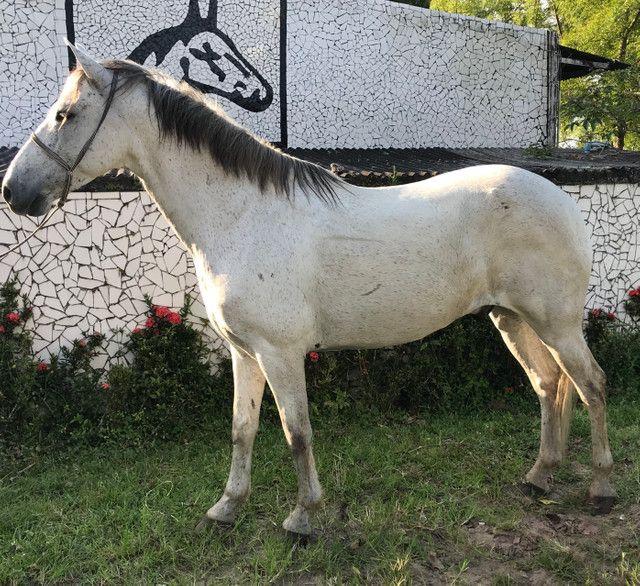Cavalo tordilho show de marcha picada - Foto 5