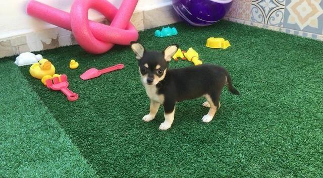 Chihuahua pelo curto