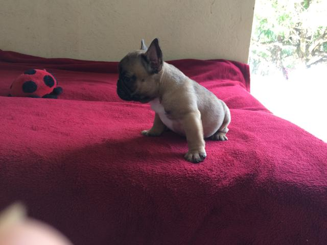 Filhote fêmea bulldog francês