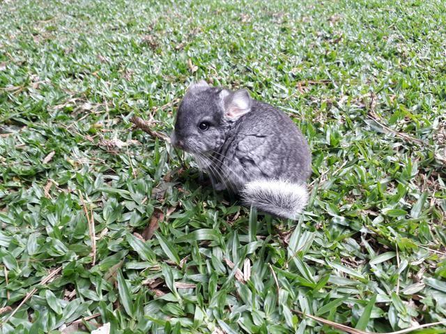 Chinchilas filhotes dóceis para estimação - Foto 5