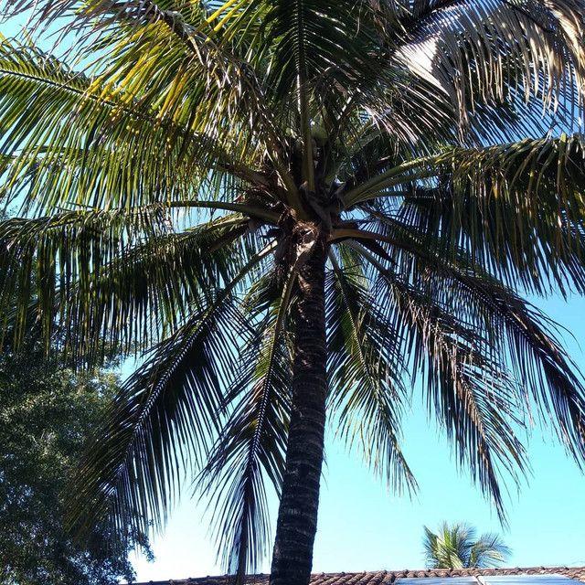 Limpeza de coqueiros - Foto 3