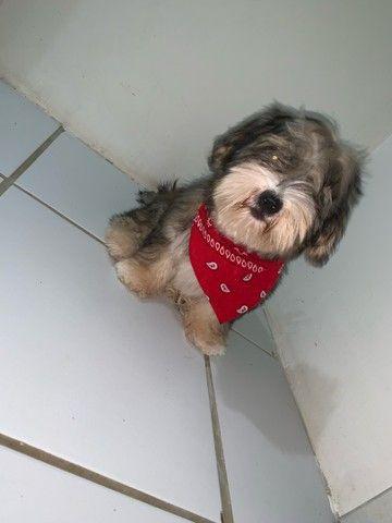 Cachorro Lhasa apso para cruzar  - Foto 2