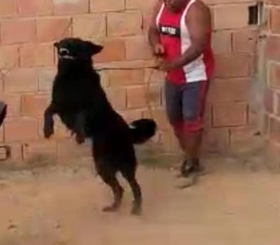Venda de cães adestrados para Guarda Belo Horizonte - Foto 3