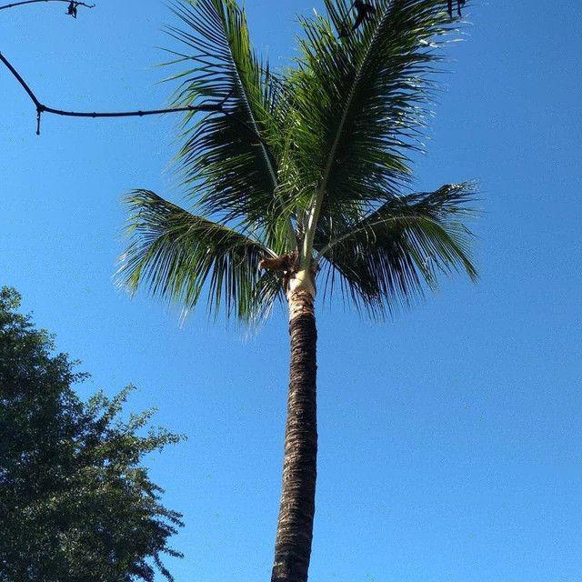 Limpeza de coqueiros - Foto 4