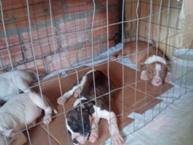 Vendo filhotes de pit bull - Foto 5