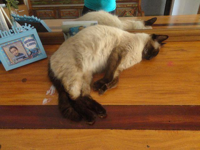 Filhotes de gatos Siameses Puros fêmeas 02 meses