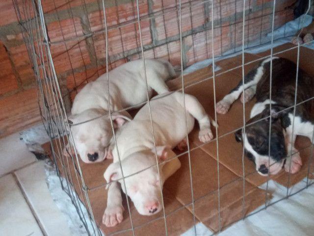 Vendo filhotes de pit bull - Foto 6